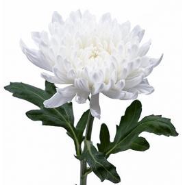 Хризантема белая Антонов